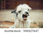 Funny Alpaca Smile And Teeth ...