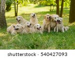 big family of dogs sit and lie... | Shutterstock . vector #540427093