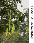 Small photo of Raw Parkia Speciosa (petai, sataw, sator, bitter bean, twisted cluster bean, stinker or stink bean) and its flower hanging on its tree.