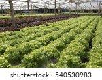hydroponic vegetable | Shutterstock . vector #540530983