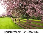 Pink Blossoming Trees Along A...