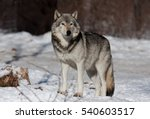 Timber Wolf Standing In The Snow