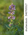 Small photo of Salvia verticillata, lilac sage or whorled clary herb macro