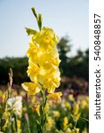 Yellow Gladiolus Flower In...