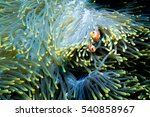Two Clownfish Playing In The...