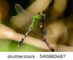 Female Eastern Pondhawk...