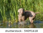 Portrait Of Weimaraner Dog In...