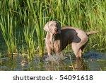Portrait Of Weimaraner Dog In...