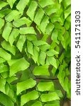 Small photo of Diamond maidenhair's green leaves(Adiantum trapeziforme)