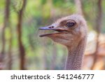 Close Up Face Of The Ostrich O...