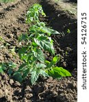 growing tomatoes plants in the...   Shutterstock . vector #54126715