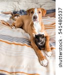 Stock photo tired mixed breed puppy playing with tortoiseshell kitten on human bed 541480537