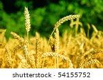 colorful corn field | Shutterstock . vector #54155752