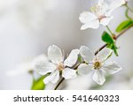 White Cherry Tree Flower In...