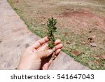 Small photo of A small branch of muna, an Andean herb commonly used as natural medicine against altitude sickness in the Andean regions in Peru.