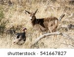 Mule Deer Fawn Curiously...