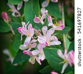 Honeysuckle Pink Flowers...
