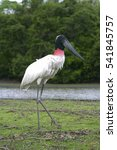 Small photo of Bird (Jabiru) in Pantanal, Brazil