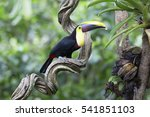 yellow throated toucan eating... | Shutterstock . vector #541851103