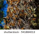 monarch butterflies perform... | Shutterstock . vector #541884013