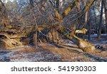 Old Dry Fallen Tree Near Old...