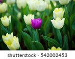 Tulips. Spring Background With...
