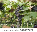 large bunch of fresh black... | Shutterstock . vector #542007427