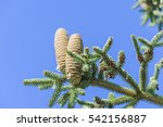 Small photo of Spanish fir cones (Abies pinsapo).