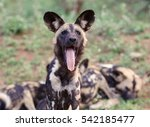 Small photo of african wild dog