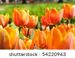 Beautiful Orange Tulip In Garden