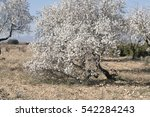 Almond Tree In Bloom In Requen...