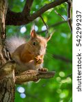 Large Red Squirrel Sitting On ...