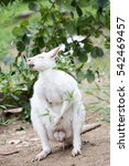 Small photo of A male white kangaroo eating. Albino kangaroos are rare in nature. Albinism is a congenital disorder characterized by the complete or partial absence of pigment in the skin, hair and eyes