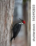Isolated Pileated Woodpecker O...