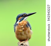 Small photo of Beautiful bird male Eurasian Kingfisher or Common Kingfisher standing on the wooden pole in the nature (Alcedo atthis)