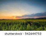 sunset at sunflower field | Shutterstock . vector #542644753
