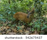 Indian  Barking Deer  Muntjac...