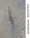 Small photo of American Crocodile at rio Grande de Tarcoles in Costa Rica