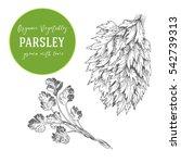 vector illustration of parsley. ... | Shutterstock .eps vector #542739313
