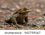 common toad  european toad ... | Shutterstock . vector #542759167