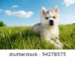 Stock photo one little cute puppy of siberian husky dog outdoors 54278575
