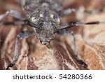 Small photo of Macro photo of a timberman (Acanthosinus aedilis)