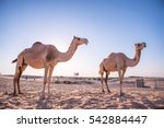 two camels silhouette  camels... | Shutterstock . vector #542884447