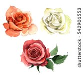 Stock photo wildflower rose flower in a watercolor style isolated full name of the plant rose hulthemia 542901553