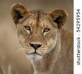 Close Up Portrait Of Serengeti...