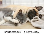 Adorable Pug And Cute Cat Lyin...