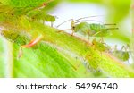 Small photo of Green aphids on rose footstalk - unwelcome vermin in garden.
