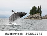 Humpbacks Whale Breaching...
