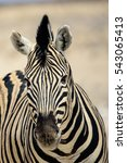 Close Up Of The Face Of A Zebra