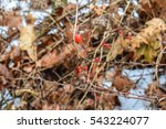 Small photo of American Barberry in Winter (Berberis canadensis)
